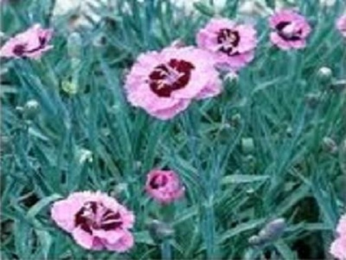 DIANTHUS EVENING STAR