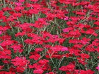 DIANTHUS DELTOIDES FLAShING LIGHTS