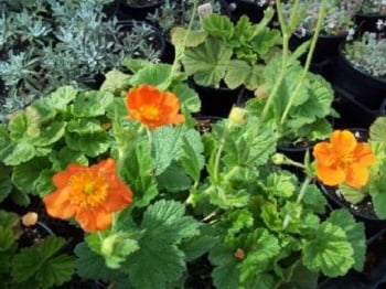 GEUM COCCINEUM QUEEN OF ORANGE