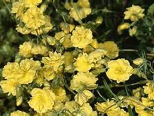 HELIANTHEMUM JUBILEE
