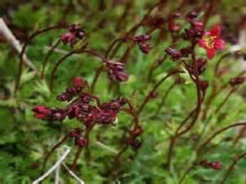 SAXIFRAGA BLACK BEAUTY