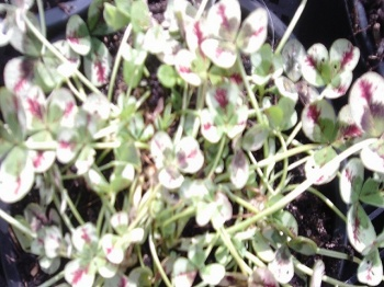 TRIFOLIUM DRAGONS BLOOD