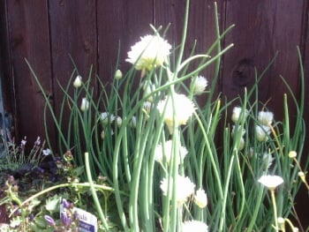 ALLIUM SILVER CHIMES