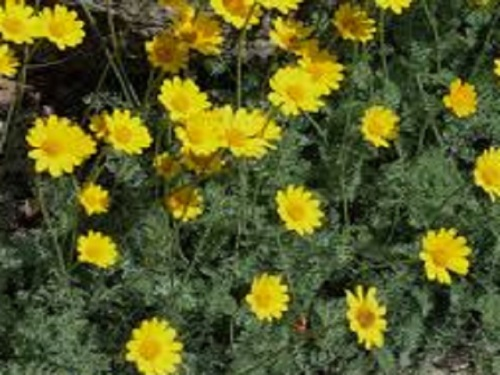 ANTHEMIS MARSCHALLIANA