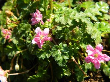 ERODIUM FLORA PLENA
