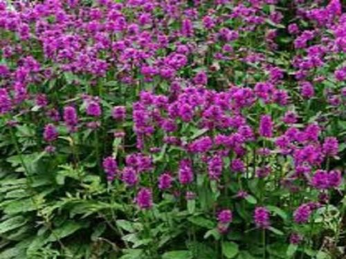 STACHYS OFFICINALIS UKKIE