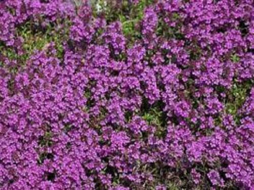 THYMUS SERPYLLUM PURPLE BEAUTY