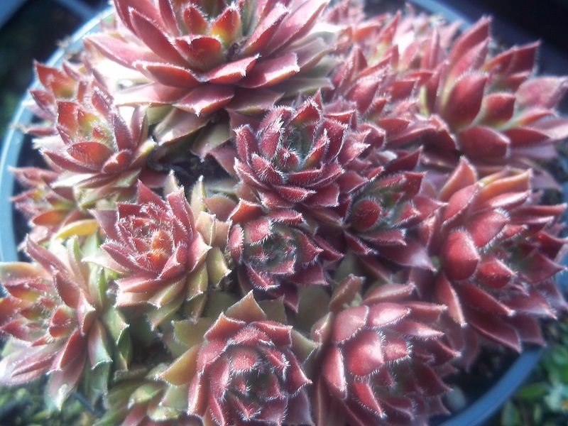 sempervivum red kite