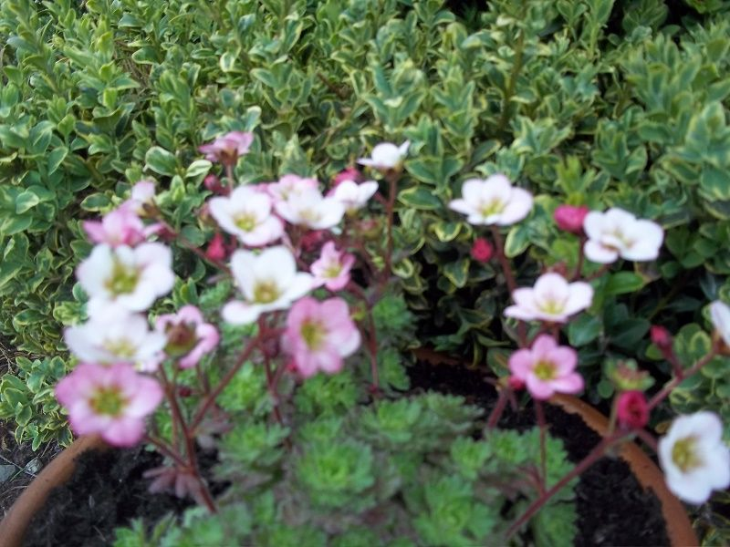 saxifraga apple blossom