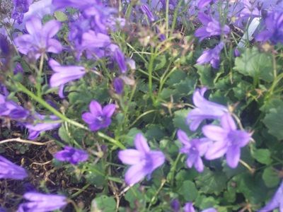 campanula mrs resholt