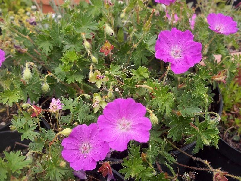 geranium sang