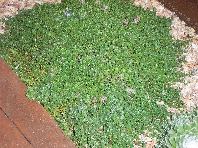 thymus serpyllum minimus