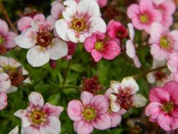 SAXIFRAGA ALPINO EARLY PINK