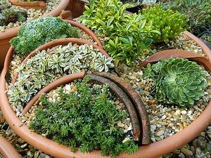 ALPINES SUITABLE FOR TROUGHS AND CONTIANERS