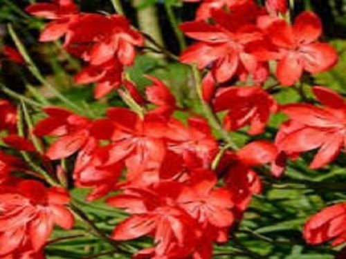 HESPERANTHA COCCINEA MAJOR