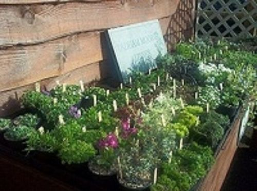 COLLECTION OF 20 ALPINES FOR TROUGHS AND CONTIANERS