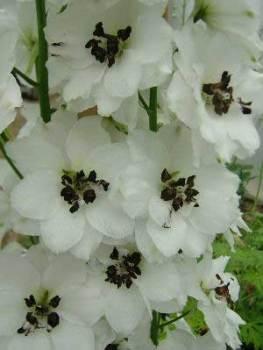 Delphinium 'Atholl' Seed