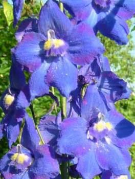 Delphinium belladonna 'Balaton' Seed