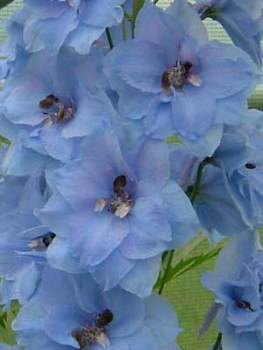 Delphinium 'Blue Dawn' Seed