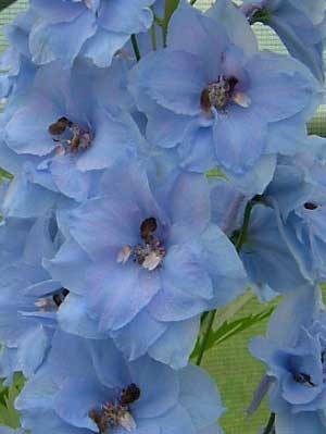 Delphinium 'Blue Dawn'