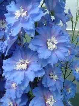 Delphinium 'Blue Lagoon' Seed