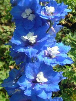 Delphinium 'Blue Nile'