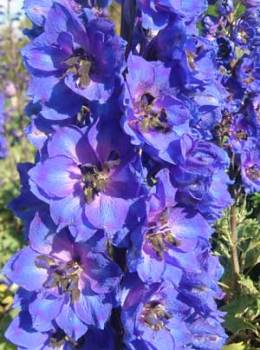 Delphinium 'Blue Tit' Seed