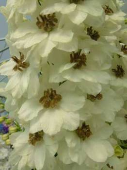 Delphinium 'Celebration' Seed