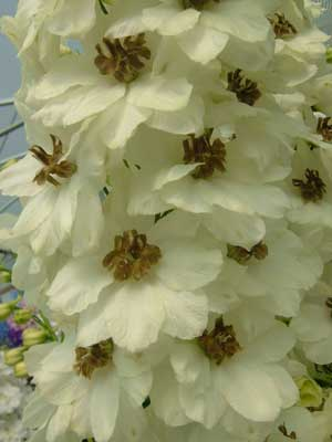 Delphinium 'Celebration'