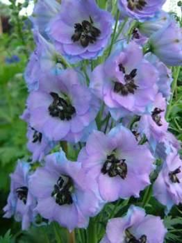 Delphinium 'Conspicuous' Seed