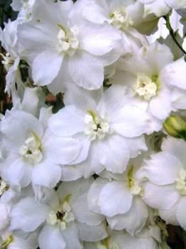Delphinium 'Constance Rivett' Seed