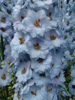 Delphinium 'Crown Jewel' Seed