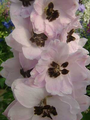 Delphinium 'Darling Sue'
