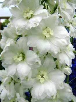 Delphinium 'Elizabeth Cook' Seed