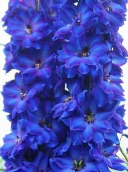 Delphinium 'Faust' Seed