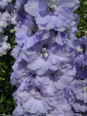 Delphinium 'Gillian Dallas'