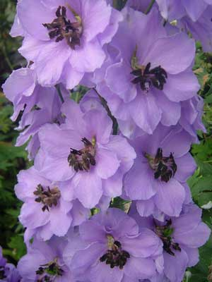 Delphinium 'Holy Cookland Wilkins'