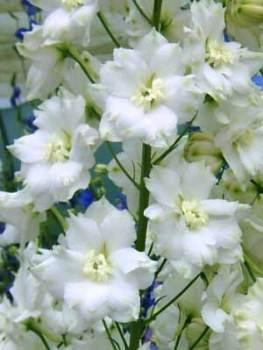 Delphinium 'Jill Curley' Seed