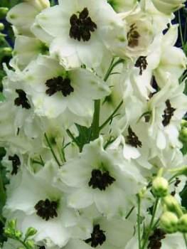 Delphinium 'Lillian Bassett' Seed