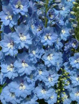 Delphinium 'Lord Butler' Seed