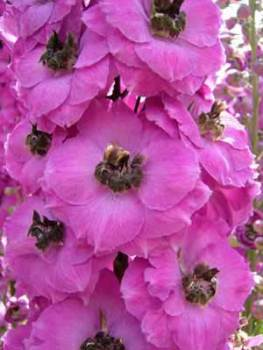 Delphinium 'Lucia Sahin' Seed