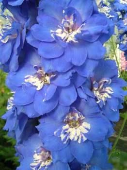 Delphinium 'Margaret' Seed
