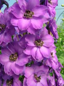 Delphinium 'Michael Ayres' Seed