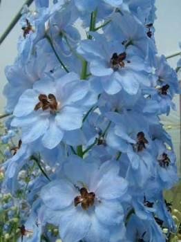 Delphinium 'Oliver' Seed