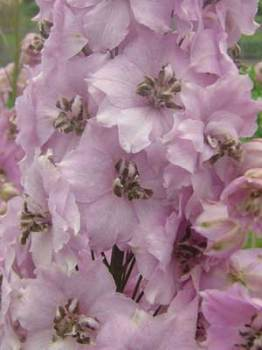 Delphinium 'Our Deb' Seed