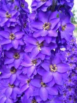 Delphinium 'Purple Velvet' Seed