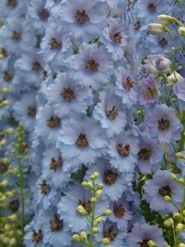 Delphinium 'Raymond Lister' Seed