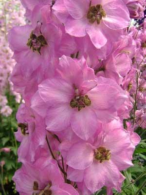 Delphinium 'Rosemary Brock'