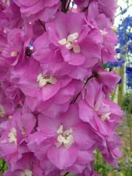Delphinium 'Royal Flush' Seed