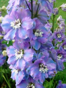 Delphinium 'Spindrift' Seed